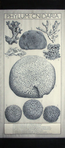 cnidaria
